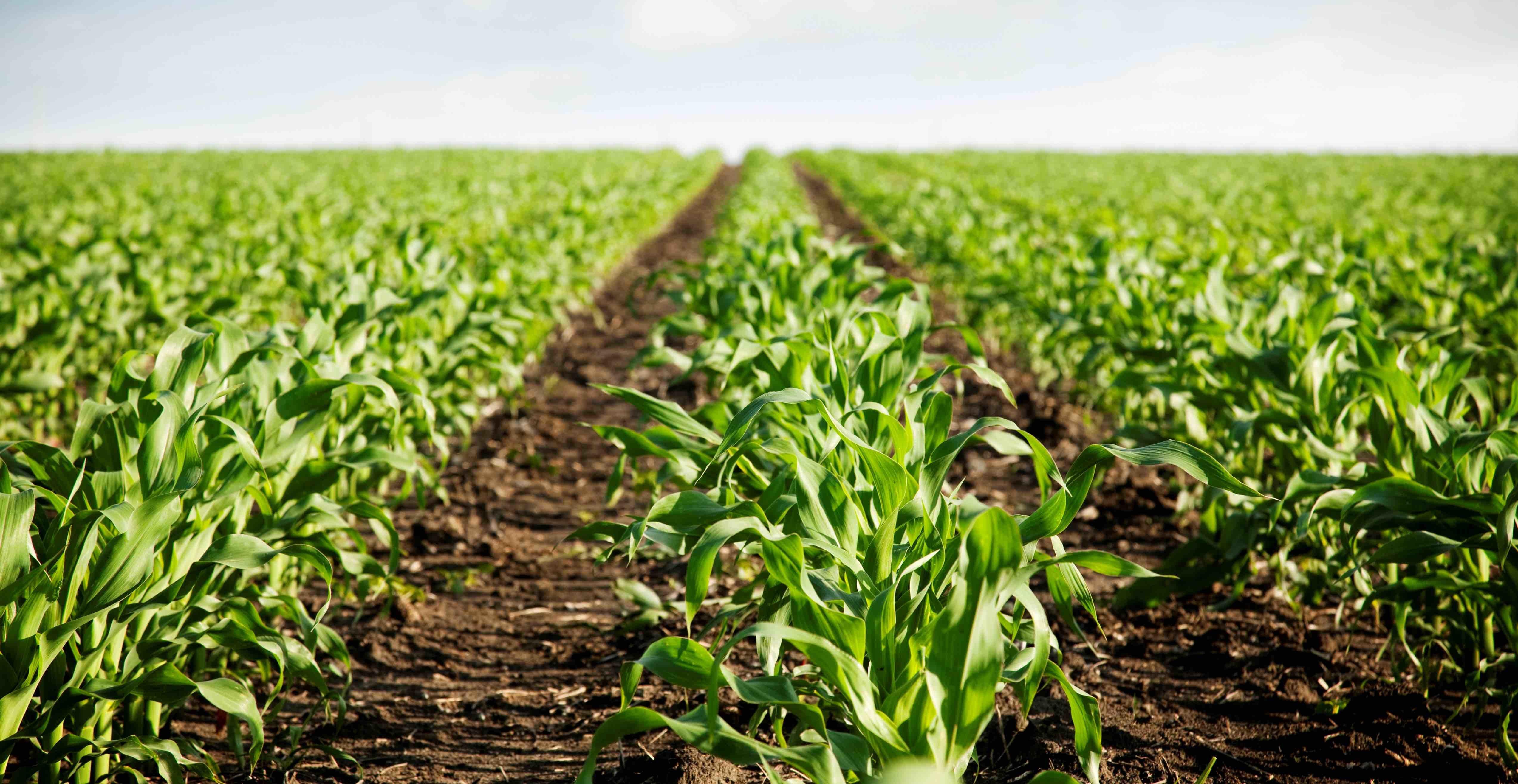 Agricultura microgea for Que son cultivos asociados